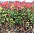 江苏30-40公分高营养钵红叶石楠苗产地价格