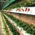 自制草莓種植槽 草莓栽培槽 無土栽培槽廠家 價格