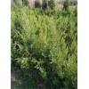苗木产地=沭阳1.1米-2米高塔柏价格