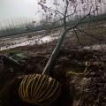 沭陽當地大小欒樹3公分4公分6公分8公分10公分價格表