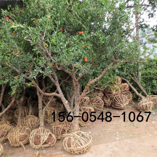  嫁接石榴苗、软籽石榴苗、突尼斯软籽石榴苗