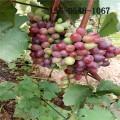 出售夏黑葡萄苗 阳光玫瑰葡萄苗、2公分甜蜜蓝宝石葡萄苗