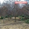 基地供应紫叶李 2公分-8公分紫叶李树 9公分紫叶李树价格0