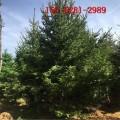 大量批发2米龙柏柱 3米龙柏 4米 5米 6米龙柏现货直销2