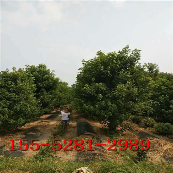 大量批发6公分美国红枫 7公分8公分9公分10公分美国红枫树