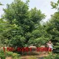 大量批发6公分美国红枫 7公分8公分9公分10公分美国红枫树1