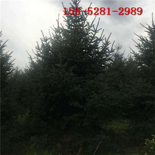 云杉基地现货供应 2米云杉 3米 4米云杉 5米云杉树价格