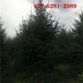 云杉基地现货供应 2米云杉 3米 4米云杉 5米云杉树价格0