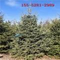 云杉基地现货供应 2米云杉 3米 4米云杉 5米云杉树价格1