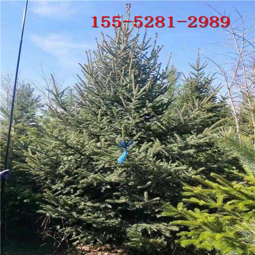 大量批发60公分云杉 1米-5米云杉树 6米云杉树批发价格