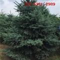 大量批发60公分云杉 1米-5米云杉树 6米云杉树批发价格1
