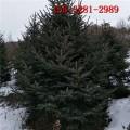 大量批发60公分云杉 1米-5米云杉树 6米云杉树批发价格2