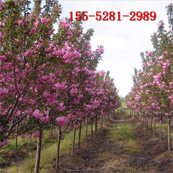 供应1-3公分的樱花树苗 4公分-20公分樱花 高杆樱花树苗