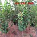 供应1-3公分的樱花树苗 4公分-20公分樱花 高杆樱花树苗1