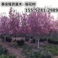 供应1-3公分的樱花树苗 4公分-20公分樱花 高杆樱花树苗2