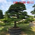 基地直销4米油松 4.5米油松、5米造型黑松 6米造型油松
