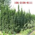 山东北海道黄杨种植基地 2米 3米 4米北海道黄杨苗批发