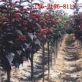 大量批发4公分紫叶李树 5公分-15公分紫叶李 红叶李树苗