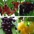 大量供应樱桃苗 1公分-3公分美早 红灯樱桃苗 车厘子樱桃苗