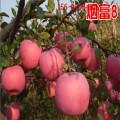 基地直销矮化苹果苗1公分2公分矮化苹果苗 红肉苹果苗价格