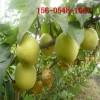 直销梨树苗1公分2公分3公分秋月 黄金 水晶梨苗 早酥红梨苗
