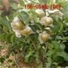 批发3公分皇冠梨树苗、秋月梨树苗 早酥梨树苗、晚秋梨树苗