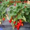 草莓苗多少钱一棵 红颜草莓苗,章姬草莓苗,甜宝草莓苗出售