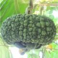 奇特的观赏南瓜 仿古瓜种子