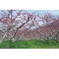 3公分4公分5公分桃树大量出售