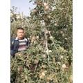 烟富8苹果苗,鲁丽苹果苗,红肉苹果苗,响富苹果苗,临沂苹果苗