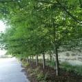 美国红枫基地-5公分6公分美国红枫 7公分8公分美国红枫树