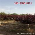 出售8公分紫叶李树、9公分10公分11公分12公分紫叶李树苗