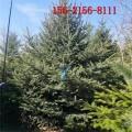 现货直销3米云杉、4米云杉、4.5米云杉、5米/6米云杉树