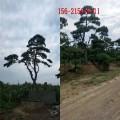 供应3米泰山景松/4米造型黑松、5米造型景松、6米造型油松