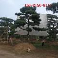 现货供应造型黑松=2米油松 3米4米造型黑松 5米泰山景松