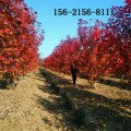 批发美国红枫树-3公分4公分5公分红点红枫 6公分美国红枫树