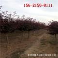 基地直销4公分紫叶李树、5公分6公分紫叶李/7公分紫叶李树