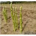 种植芦笋的季节