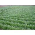 菏泽优质麦冬