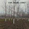出售紅楓樹-10公分11公分美國紅楓 12公分美國紅點紅楓樹