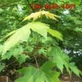 红枫树现货批发 13公分美国红枫 14公分15公分美国红枫树