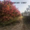 批发美国红枫小苗 10公分11公分美国红枫 12公分美国红枫