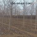 批发10公分美国红枫树 11公分/12公分/13公分美国红枫