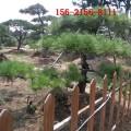 出售造型景松-2米景松、2.5米 3米造型油松 4米造型黑松