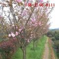 基地出售9公分樱花树、10公分、12公分、15公分樱花树苗