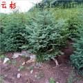 产地直销2米云杉 2.5米云杉 3米、4米、5米、6米云杉树