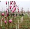 供应玉兰树苗、紫玉兰树苗、白玉兰树苗价格