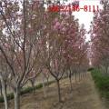 直销8公分樱花-9公分樱花 10公分11公分、12公分樱花树
