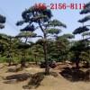 直销造型景松 2米3米造型黑松 4米造型油松 5米6米泰山景松