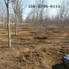 批发7公分美国红枫 8公分 9公分10公分 11公分美国红枫树